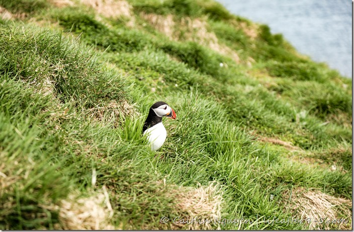 Puffin in the wild at the Borgarfjarðarhöfn nature reserve